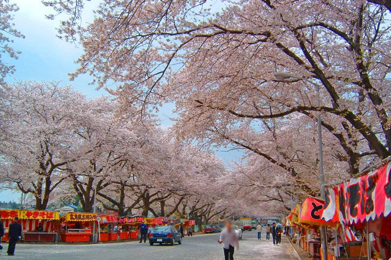印西市小林牧場の桜